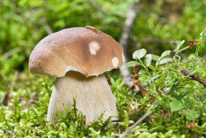 Белые грибы давно стали деликатесным продуктом