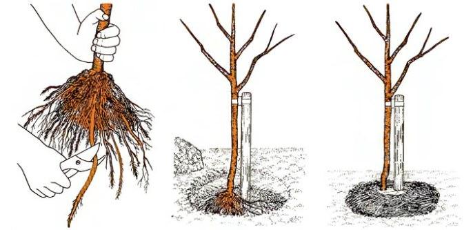 Для того что бы правильно расположить саженец яблони необходимо следовать схеме посадки