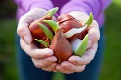 Хранение луковиц тюльпанов не отличается сложностью