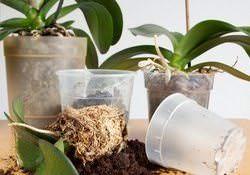 Орхидеи «Фаленопсис» относительно сложно размножаются