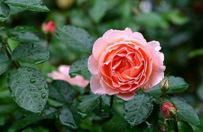 Характерным признаком розы Флорибунда является длительное цветение