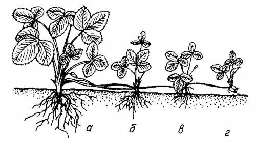 На разводочных грядках можно использовать розетки без корней или с корнями
