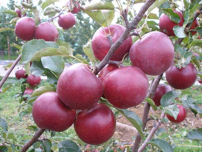 Привить дерево необходимо, чтобы получить новое растение без потери сортовых качеств