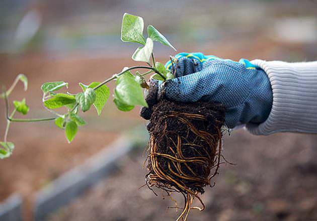 На саженцах должно быть минимум три корня длиной от десяти сантиметров