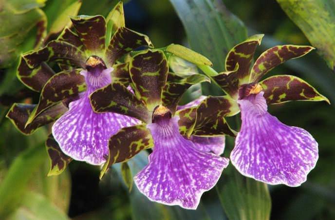 Орхидея Зигопеталум относится к симподиальным и эпифитным видам с предпочтением умеренного режима содержания