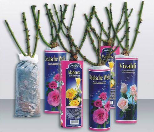 Правильно осуществляемый выбор саженцев розы является залогом получения качественного растения