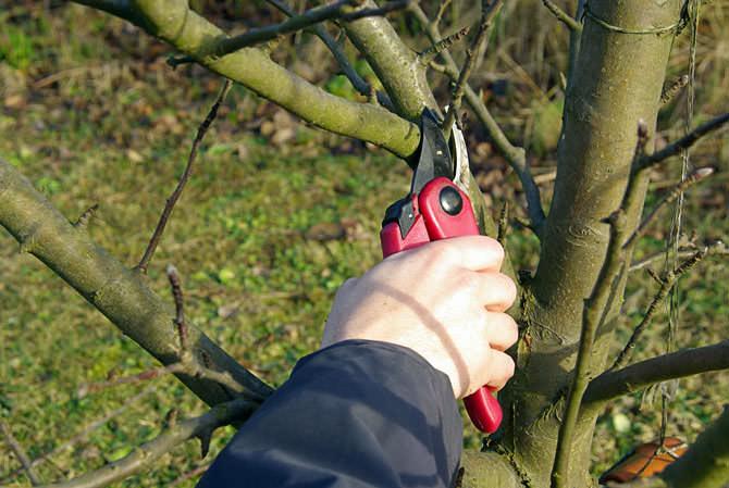 Ухаживать за яблоней не сложнее, чем за любым другим садовым деревом