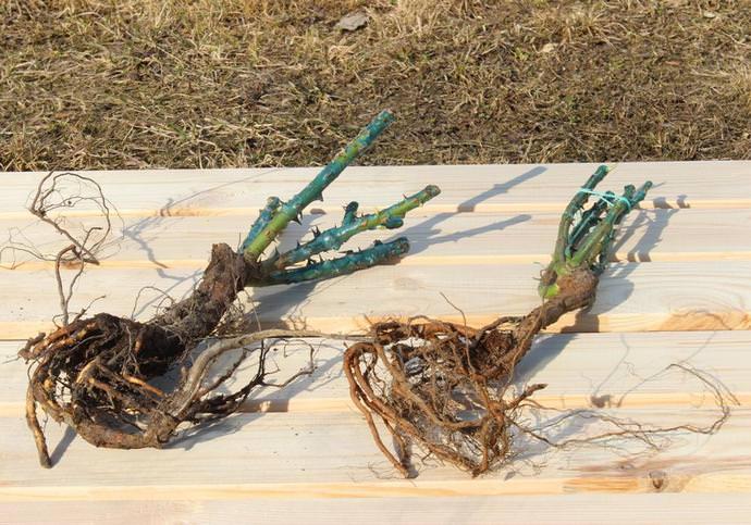 Саженец розы с открытой корневой системой перед приобретением должен быть подвергнуть внимательному визуальному осмотру