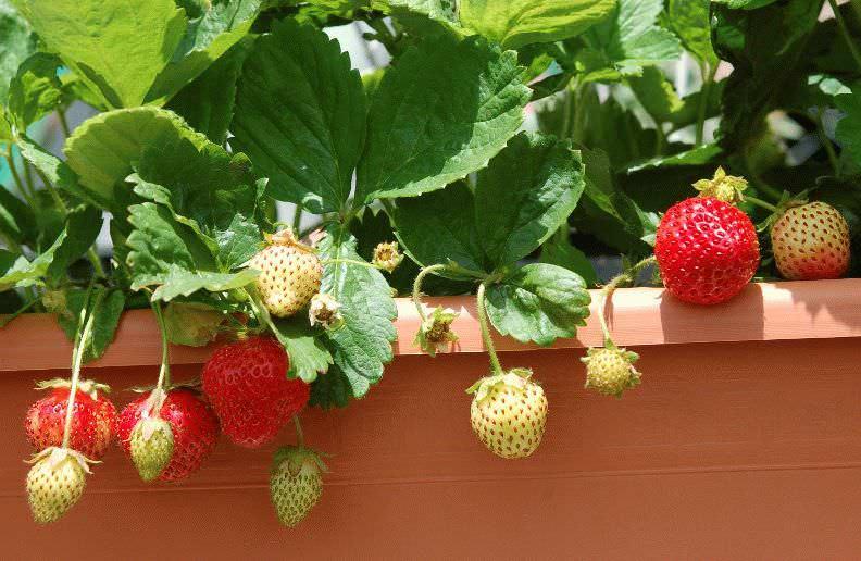 Садовая земляника, или ремонтантная клубника, в последние годы все чаще выращивается на балконе или лоджии
