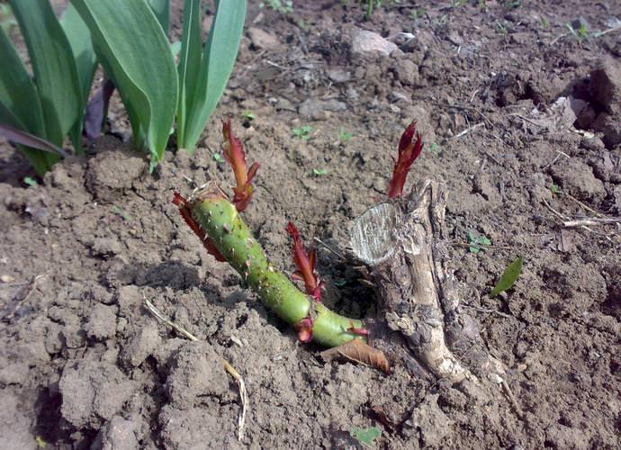 Подготовка роз к зиме включает в себя обрезку верхушек отростков