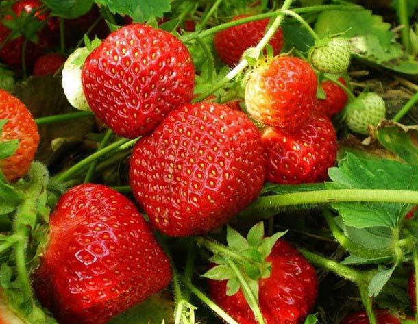 Сортовая клубника «Елизавета-II» способна вступать в повторное плодоношения спустя два месяца после сбора урожая