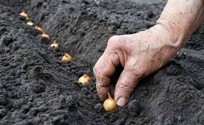 Помещают луковички в лунки глубиной не менее 5 см, расстояние между овощами составит 7 см