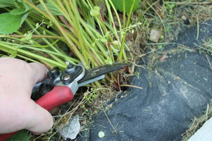 На протяжении многих лет не утихают споры садоводов и огородников о необходимости осуществления осенней или подзимней обрезки надземной части клубничных кустов