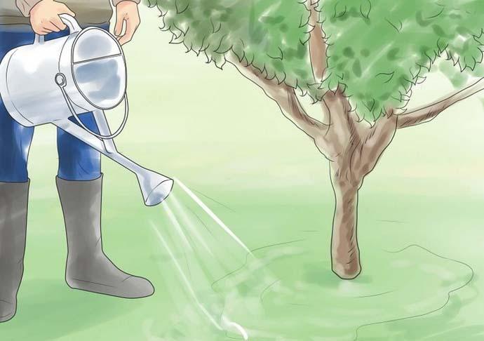 Поливы черешни нужно проводить примерно три раза за один сезон, используя порядка 20 л воды на растение в год