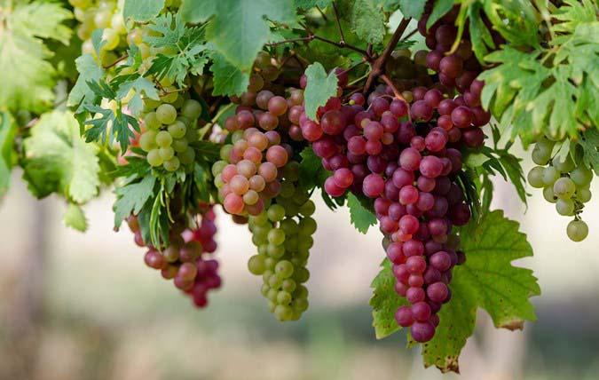 Существует большое количество сортов винограда