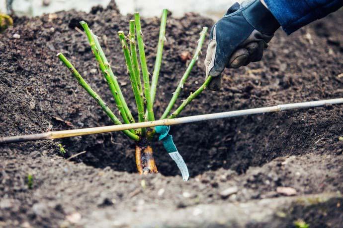 При правильной посадке корневая система саженца расправлена, а почва хорошо утрамбована и не образует воздушных полостей