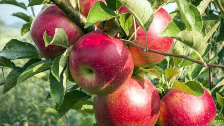 В настоящее время яблоня сорта «Серебряное копытце» является ведущим сортом в большинстве областей нашей страны