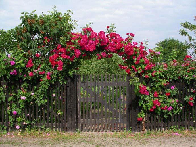 Разнообразные виды плетистых роз широко используются в современном садовом декоре и наиболее востребованы при оформлении вертикального озеленения