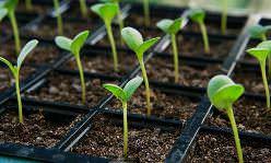 Чтобы вырастить хорошую рассаду, необходимо соблюдать правила