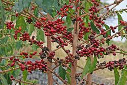 Кофейное дерево (Coffea) – род вечнозелёных растений трибы Кофейные (Coffeeae) семейства Мареновые (Rubiaceae)