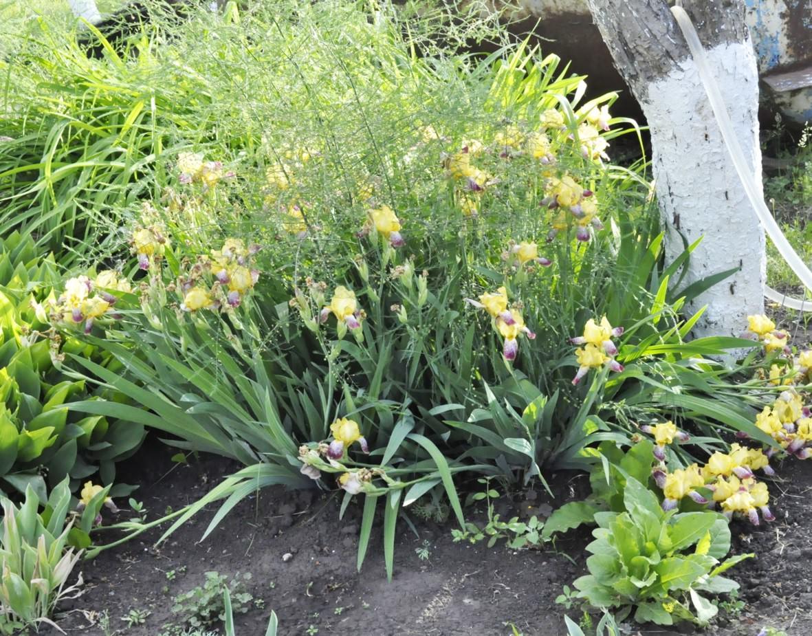 Вот так цветут желтые ирисы, среди них случайно проросла спаржа, но смотрится, по-моему, интересно