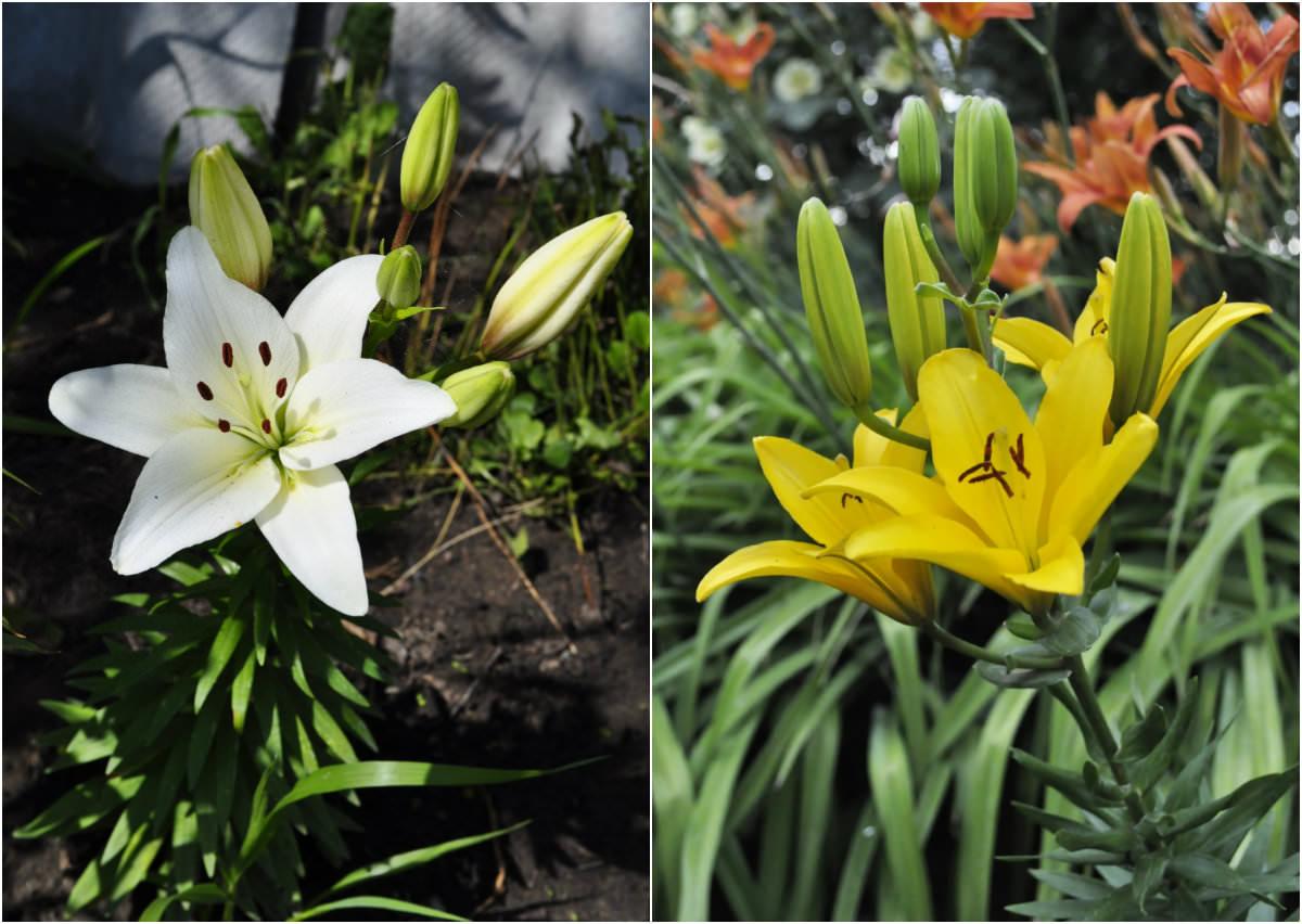 Лилии и лилейник