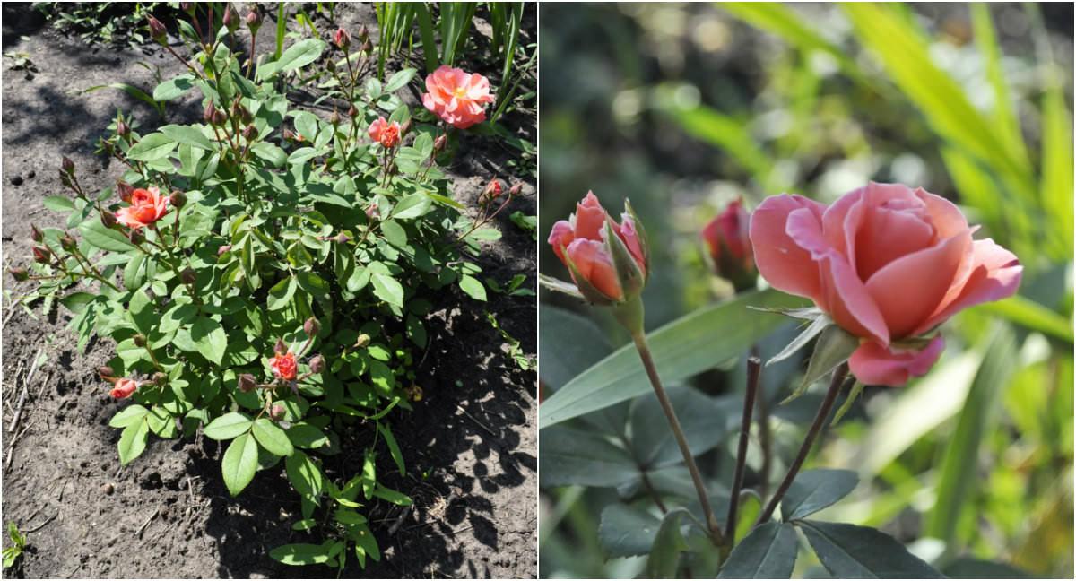 С другой стороны от ландышей, по центру, растет роза флорибунда