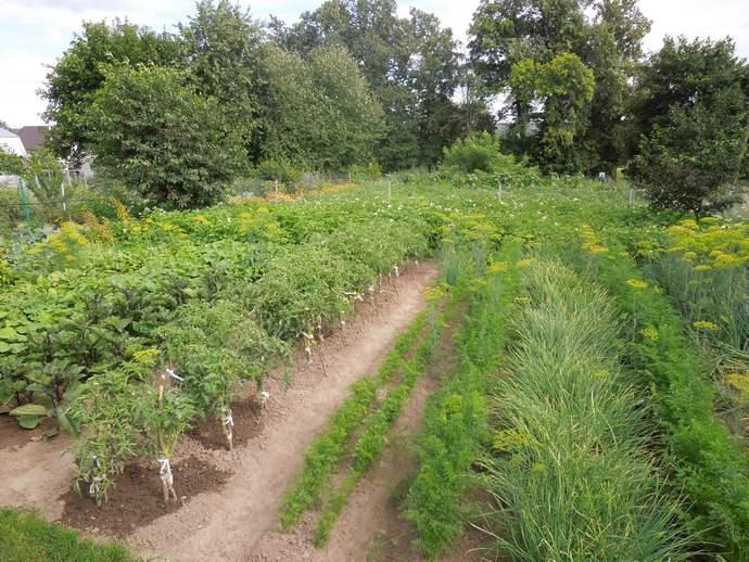 Сажаю 2 огорода на одном исключительно картофель 4 сотки, на другом всё что можно