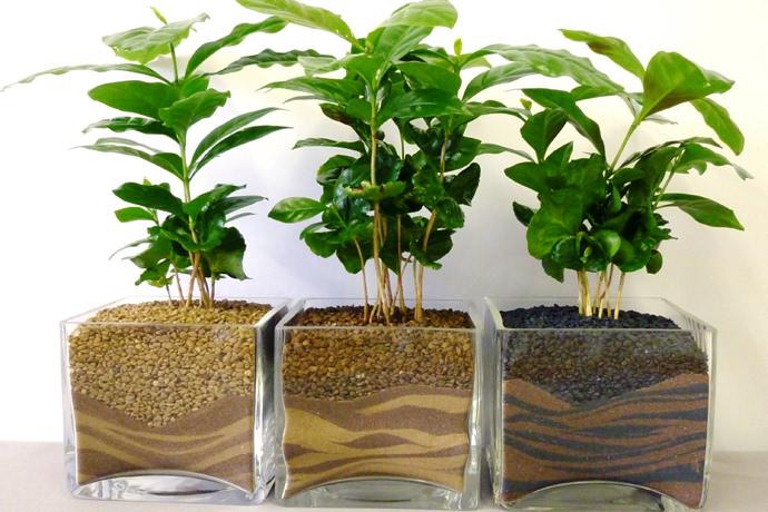 Наиболее подходящие сорта для выращивания в комнатных условиях — аравийский (arabika) и карликовый Нана (папа)