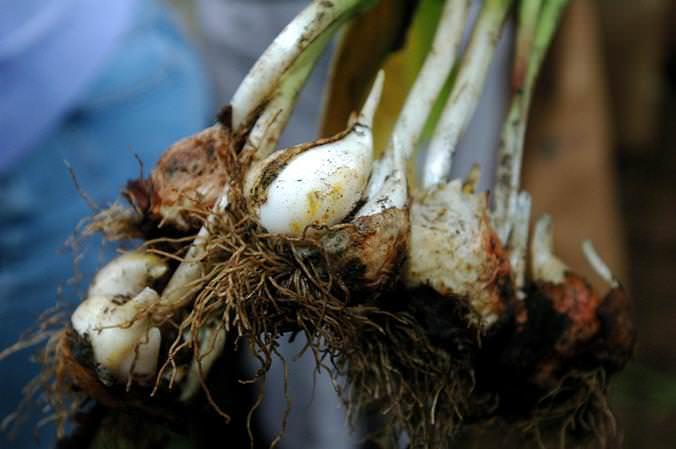 Выкапывают луковицы в тёплую и солнечную погоду в условиях просушенной земли