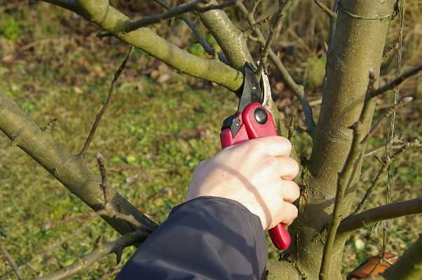 Проведение ежегодной грамотной вырезки сухих и загущающих ветвей позволяют уберечь яблоню от парши