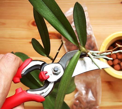 Садовый секатор не будет избыточно травмировать комнатную орхидею