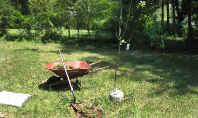 Большинству садоводов известно, что саженцы яблони можно сажать не только в самом начале весны, но и в середине осени