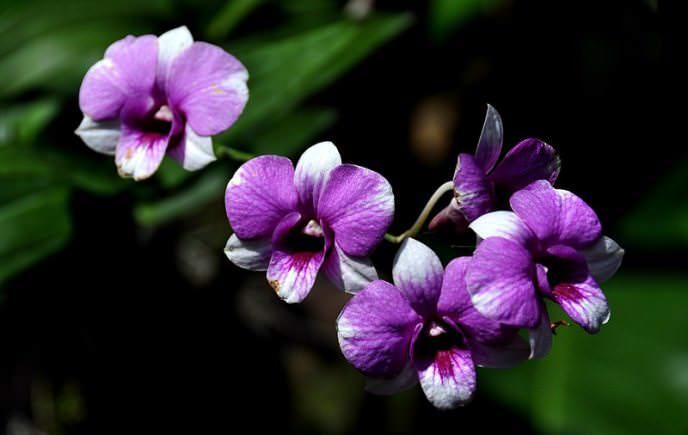 Орхидеи в домашних горшках растут и цветут обильно