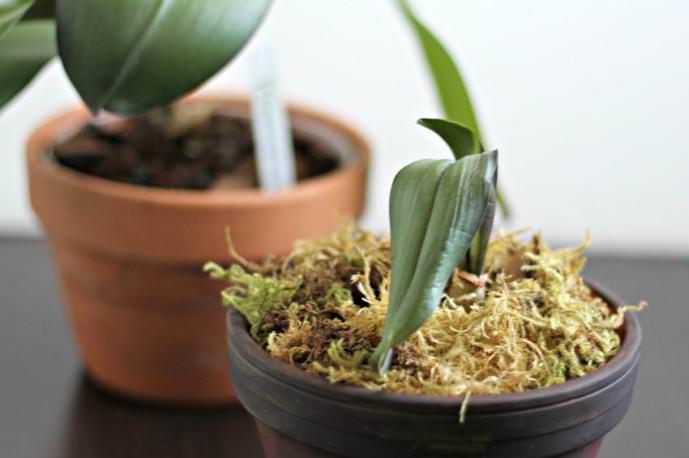 Ещё одним способом деления, применяемым в выращивании «Фаленопсиса», является деление розетки