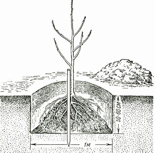Лучше всего, когда все корни опущены в яму, аккуратно расправить их и тщательно присыпать слоем плодородной земли