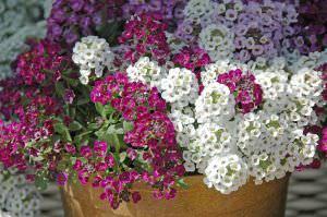 Симпатичный и душистый алиссум легко украсит ваш сад