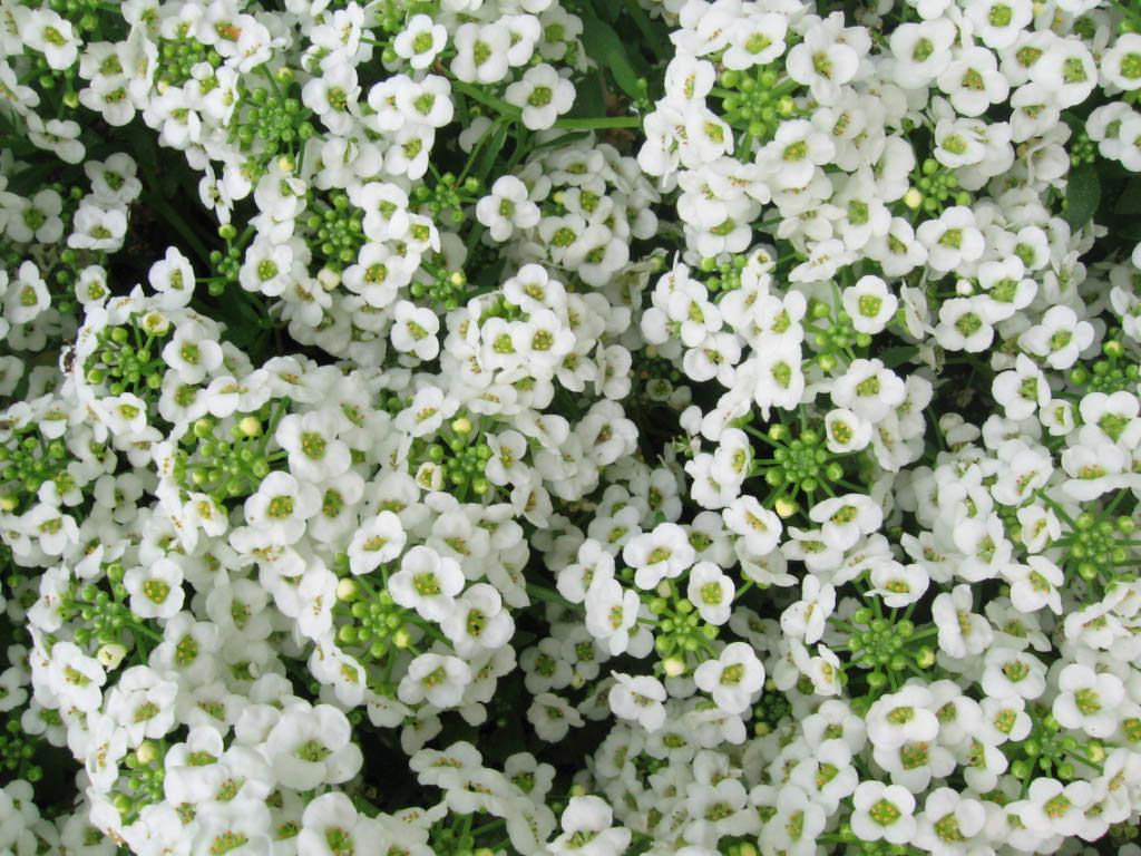 Алиссум — однолетнее или многолетнее растение, сильноветвящиеся, раскидное, с большим количеством мелких цветочков, красного, розового, белого и фиолетового цвета
