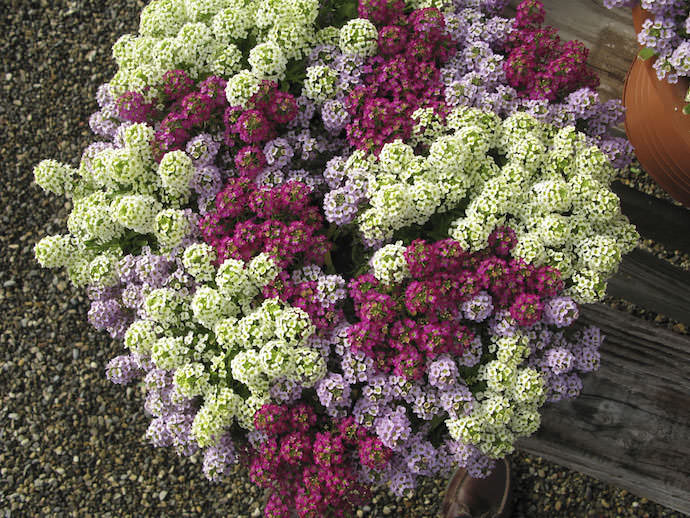 Цветет алиссум с мая и до самой глубокой осени, так что растение сможет радовать вас весь сезон