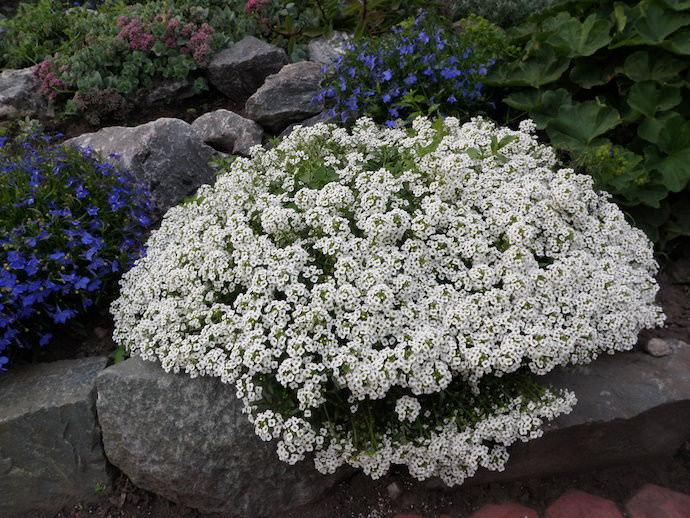 Чаще всего алиссум высаживается на рабатках и клумбах, в смешанных цветниках и вазонах