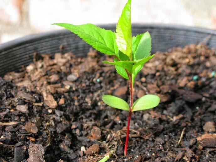 Вырастить яблоню из семян самим сложно и рискованно, т.к. трудно предсказать результат этого эксперимента