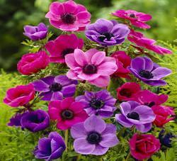 Анемона популярна среда садоводов