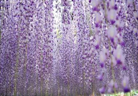 Парк Асикага не зря называют Парком фей. Именно здесь вы забудете о суете и круговороте дел, позволите себе хотя бы на несколько часов вернуться в детство – мир света, добра и красоты