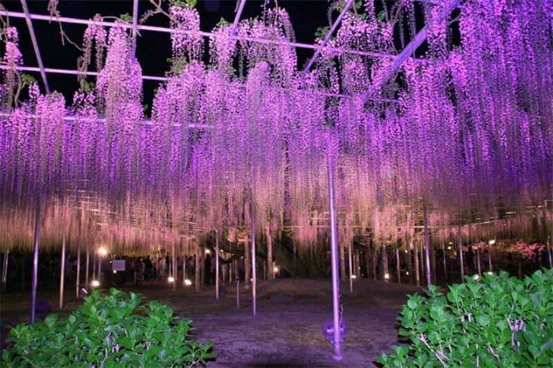 Длинные глицинии считаются одними из самых красивых растений в мире