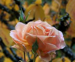 Посадка роз осенью выполняется наиболее часто в средней полосе России