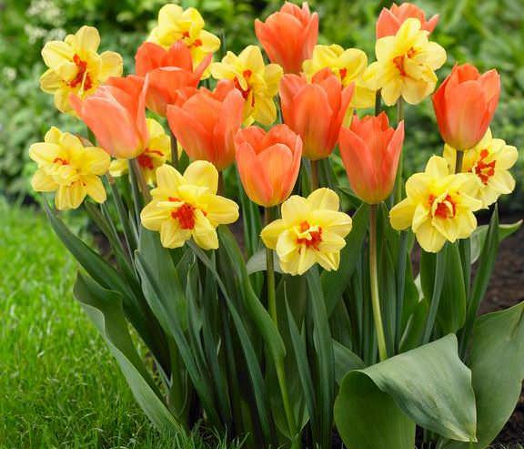 Чтобы защитить цветы от грызунов, необходимо окружить посадку тюльпанов луковичными, которые ядовитыми веществами отпугивают грызунов