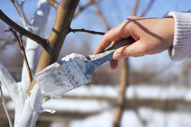 Профилактические обработки деревьев и кустарников включают побелку стволов