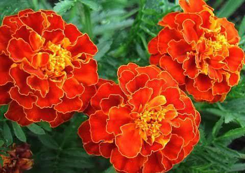 Практически на каждой городской клумбе и балконе можно увидеть такие цветки, как бархатцы