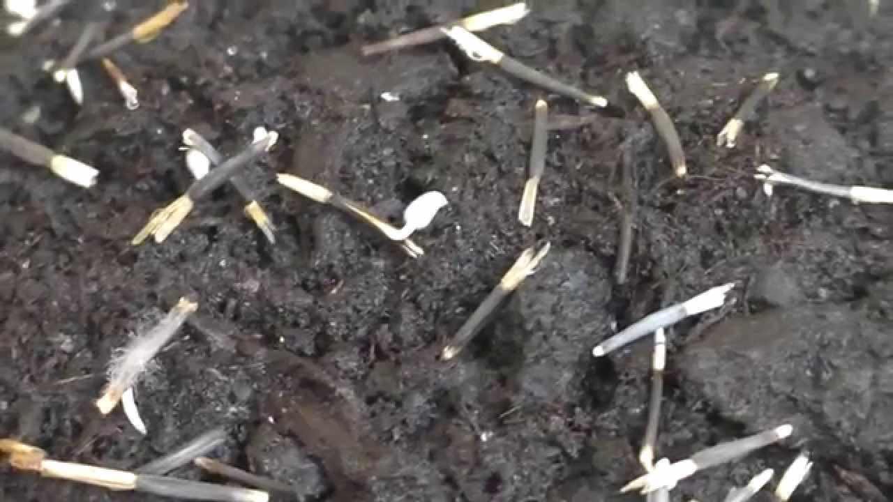 Бархатцы, посадка и уход за которыми производятся без особых усилий, заготавливаются для рассады в феврале, в это время проводят посев растения