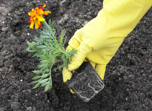 Что касается уже готовой рассады, то низкорослые сорта чернобривцев требуется сажать на расстоянии не меньше 15 см друг от друга, среднерослые — не ближе 20 см, а высокорослые растения — через 30 см.